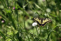 Papillon pâlot/pâle de machaon photos stock