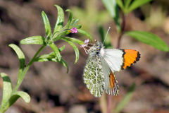 Papillon Pacifique d'Orangetip - Anthocharis sara Photos stock