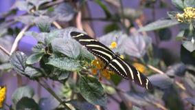 Papillon, papillons, insectes, fleurs banque de vidéos