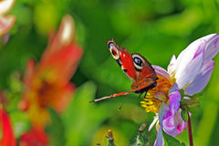 Papillon parmi des fleurs sur le pré Images stock