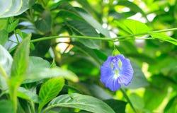 Papillon Pea Flower Photos libres de droits