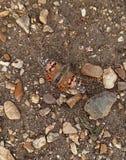 Papillon peint de dame sur la terre caillouteuse Photographie stock