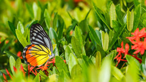 Papillon peint de Jézabel (hyparete de Delias indica) Photo libre de droits