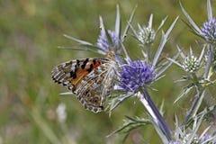 Papillon peint de Madame (cardui de Vanessa) Images stock
