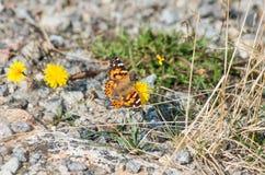 Papillon peint de Madame sur l'usine jaune photo libre de droits