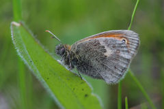 Papillon - petite bruyère (pamphilus de Coenonympha) Photographie stock libre de droits