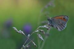 Papillon - petite bruyère (pamphilus de Coenonympha) Photos libres de droits