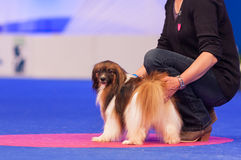 Papillon, Phalene in the show ring Royalty Free Stock Image