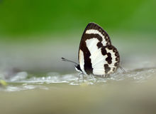 Papillon (pierrot droit), Thaïlande Photo stock