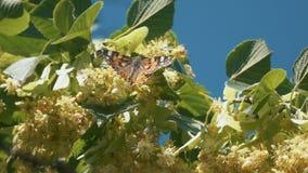 Papillon pilotant le mouvement lent sur la lumière du soleil sur l'arbre banque de vidéos