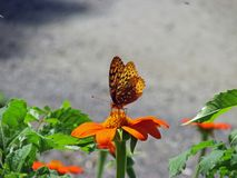 Papillon placé sur la fleur orange à la Chambre de montagne de Mohonk Image libre de droits