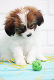 Papillon plays with a ball Stock Image