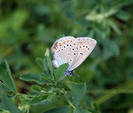 Papillon Plebejus Argus Images stock