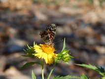 Papillon porté en équilibre photos stock