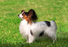 Papillon portrait on grass Stock Images