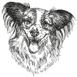 Papillon portrait vector hand drawing illustration Royalty Free Stock Image