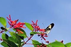 Papillon principal longwing noir et blanc de piano Photographie stock libre de droits