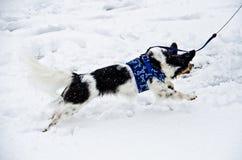 Papillon psa cyzelatorstwa płatki śniegu Zdjęcia Royalty Free