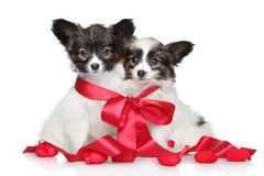 Papillon puppies associated red bow Stock Image