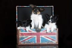 Papillon puppies posing on black Stock Photo