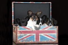 Papillon puppies posing on black Royalty Free Stock Photography