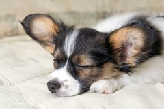 Papillon puppy. Sleeping on bed a little Puppy Papillon royalty free stock photography