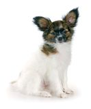 Papillon puppy Stock Photos
