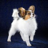 Papillon puppy Stock Photography