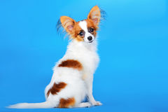 Papillon puppy 5 months old on the blue background Stock Photos