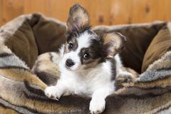 Papillon Puppy in bed Royalty Free Stock Photos