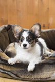 Papillon Puppy in bed Stock Image