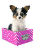 Papillon puppy in a box. In front of white background royalty free stock image