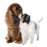 Papillon puppy and cavalier king charles Royalty Free Stock Image