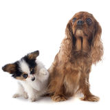 Papillon puppy and cavalier king charles Stock Images