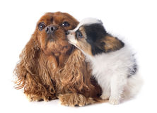 Papillon puppy and cavalier king charles Stock Image