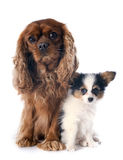 Papillon puppy and cavalier king charles Royalty Free Stock Photo