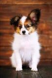 Papillon puppy close-up portrait Royalty Free Stock Photo