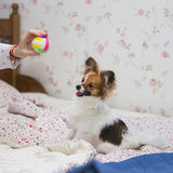Papillon puppy / Continental Toy Spaniel, Butterfly Dog Stock Photos