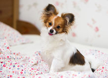 Papillon puppy / Continental Toy Spaniel, Butterfly Dog Royalty Free Stock Image