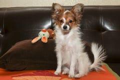 Papillon puppy Royalty Free Stock Photo