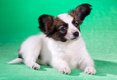 Papillon puppy on a green background Royalty Free Stock Photos