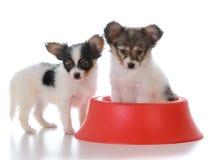 Papillon litter mates with a dog dish. Papillon puppy litter mates with a red dog dish on white background Royalty Free Stock Image