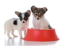 Papillon litter mates with a dog dish. Papillon puppy litter mates with a red dog dish on white background Stock Photos