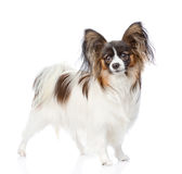 Papillon puppy looking at camera. isolated on white background Stock Photos