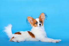Papillon puppy lying on blue background Royalty Free Stock Image