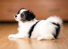 Papillon puppy lying on the floor stock images