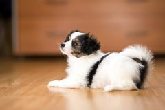 Papillon puppy lying on the floor royalty free stock images