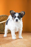 Papillon Puppy on a orange background Stock Photography