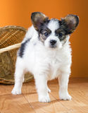 Papillon Puppy on a orange background Stock Images