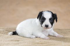 Papillon puppy Stock Photo